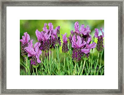 Lovely Lavender By Kaye Menner Framed Print by Kaye Menner
