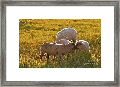 Lovin Lambs Framed Print by Gus McCrea