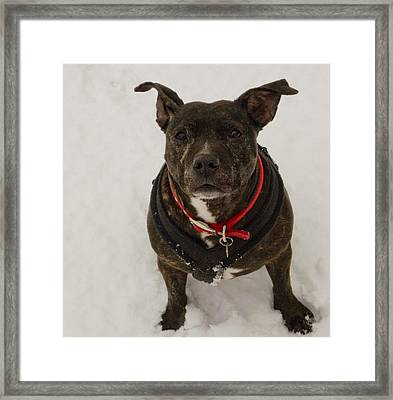 Lucy Staffie In Snow Framed Print by Clive Beake