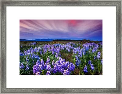 Lupine Morning Framed Print by Darren  White