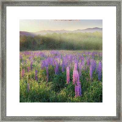 Lupine Morning Fog Square Framed Print by Bill Wakeley