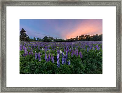 Lupine Sunset Framed Print by Stephen Beckwith