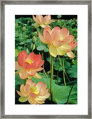 Luscious Lotus Framed Print by Elvira Butler