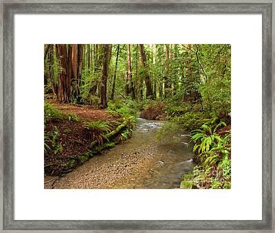 Lush Redwood Forest Framed Print by Matt Tilghman