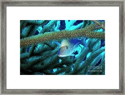 Lutjan Seaperch Hiding In Soft Coral Framed Print by Sami Sarkis