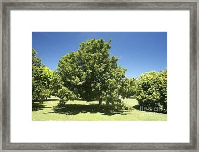 Macadamia Nut Tree Framed Print by Kicka Witte - Printscapes