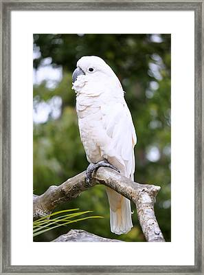 Cockatoo Framed Print by Laurie Perry