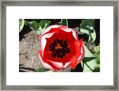 Macro Red Tulip Framed Print by John Telfer