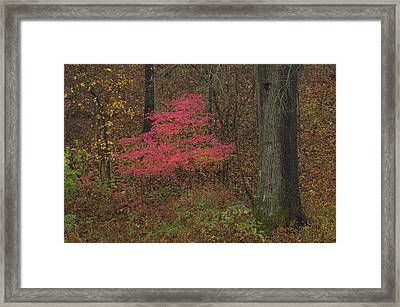 Magenta Tree In Woods Framed Print by Don Wolf