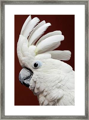 Maggie The Umbrella Cockatoo Framed Print by Bob Slitzan