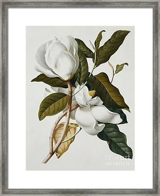 Magnolia Framed Print by Georg Dionysius Ehret