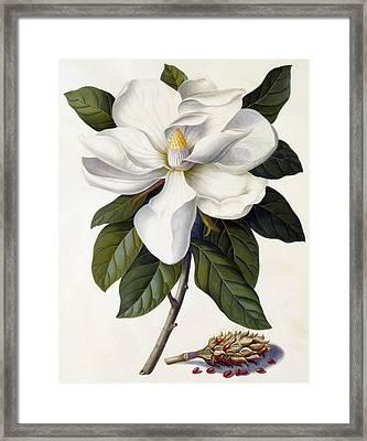 Magnolia Grandiflora Framed Print by Georg Dionysius Ehret