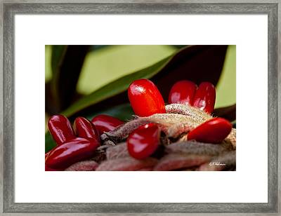 Magnolia Seeds Framed Print by Christopher Holmes