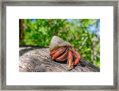 Main Resident Of The Dry Tortugas Framed Print by Jorge Moro