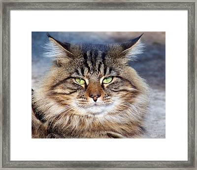 Maine Coon I Framed Print by Jai Johnson