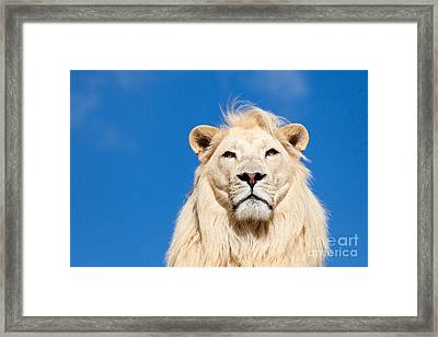 Majestic White Lion Framed Print by Sarah Cheriton-Jones