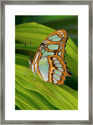 Malachite Butterfly (siproeta Stelenes) On Rhapis Palm Leaves (rhapis Excelsa) Framed Print by Darrell Gulin