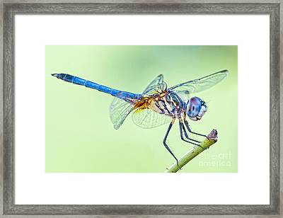 Male Blue Dasher Dragonfly Framed Print by Bonnie Barry
