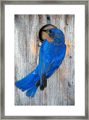 Male Eastern Bluebird Sialia Sialis On Framed Print by Panoramic Images