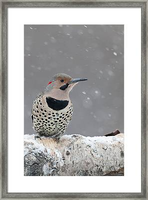 Male Flicker Perched In Falling Snow Framed Print by Tim Grams