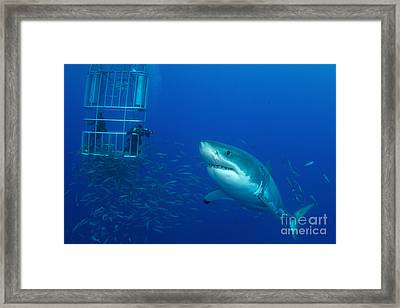 Male Great White Shark And Divers Framed Print by Todd Winner