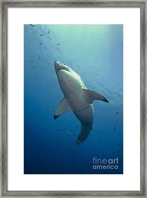 Male Great White Sharks Belly Framed Print by Todd Winner