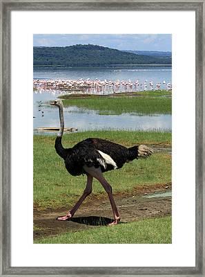 Male Ostrich Framed Print by Aidan Moran