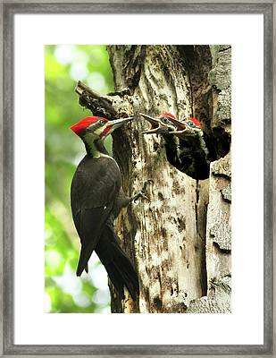 Male Pileated Woodpecker At Nest Framed Print by Mircea Costina Photography