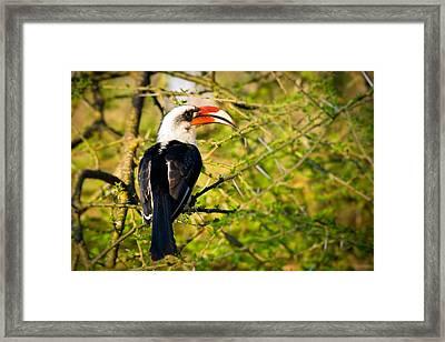 Male Von Der Decken's Hornbill Framed Print by Adam Romanowicz