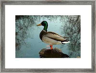 Mallard Framed Print by Clayton Bruster