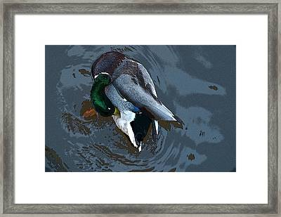 Mallard  Framed Print by Don  Wright