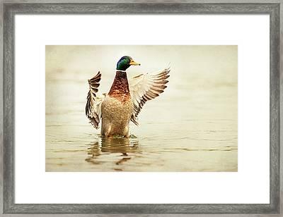 Mallard Framed Print by Everet Regal