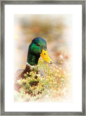 Drake In The Flowers Framed Print by Karol Livote