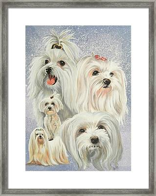 Maltese Collage Framed Print by Barbara Keith