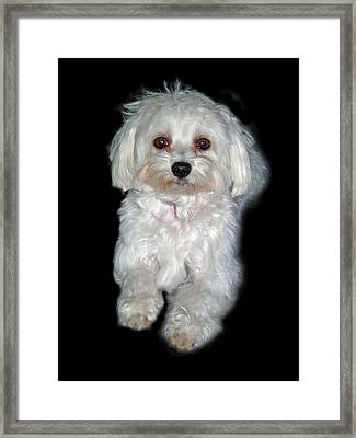 Maltese Terrier Puppy Framed Print by Kenneth William Caleno