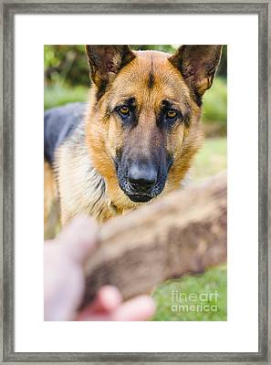 Man Playing Fetch With German Shepherd Pet Dog  Framed Print by Jorgo Photography - Wall Art Gallery