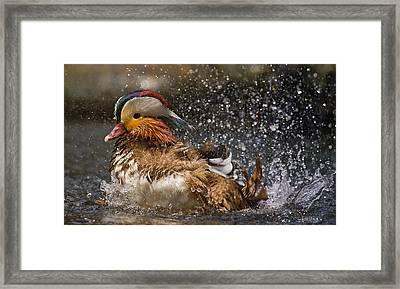 Mandarin Duck Framed Print by C.s.tjandra