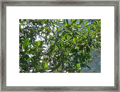 Mangroves Framed Print by Tammy Mutka