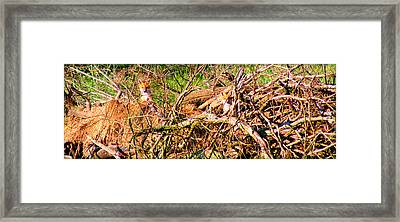 Manning Fox Pups Framed Print by Susie Weaver