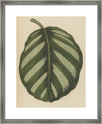 Maranta Fasciata Framed Print by English School