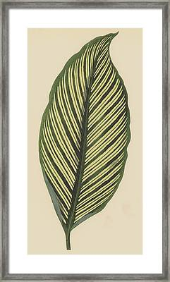 Maranta Vittata Framed Print by English School