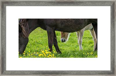 Mare And New Born Foal Grazing, Iceland Framed Print by Panoramic Images