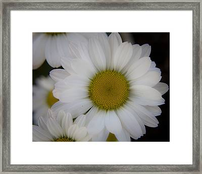Marguerite Daisies Framed Print by Teresa Mucha
