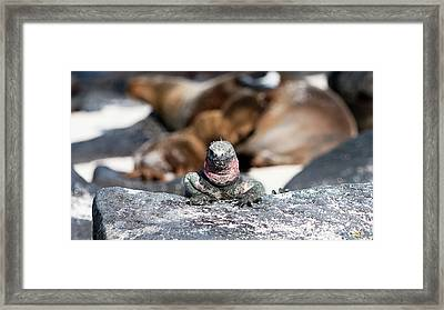 Marine Iguana Amongst The Sea Lions Framed Print by Robert Selin