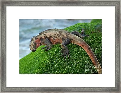 Marine Iguana On Rock Framed Print by Sami Sarkis