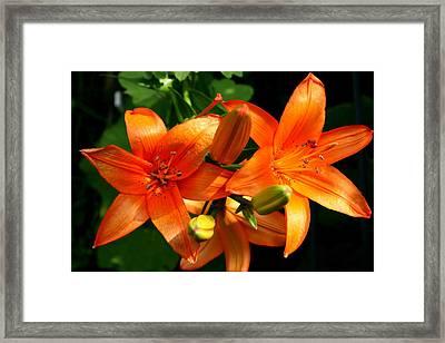 Marmalade Lilies Framed Print by David Dunham