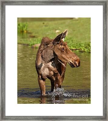 Maroon Bells Moose Portrait Framed Print by Adam Jewell