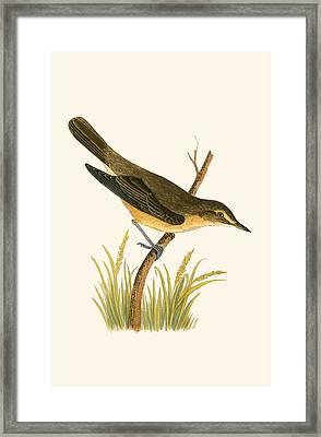 Marsh Warbler Framed Print by English School