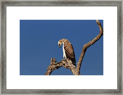 Martial Eagle Framed Print by Johan Swanepoel