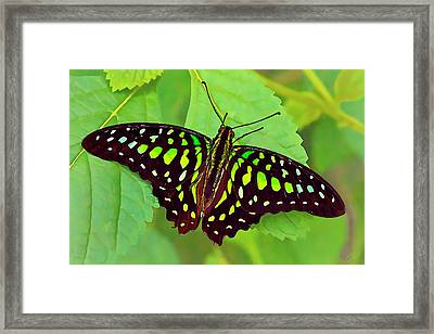 Marvelous Malachite Butterfly 2 Framed Print by ABeautifulSky Photography
